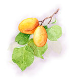 Apricot fruit branch, Watercolor illustration Royalty Free Stock Images