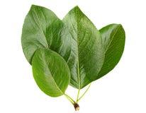 Apricot fruit leaf Royalty Free Stock Image