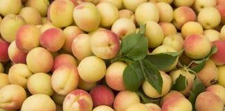 Apricot fruit. Piled of ripe orange organic apricot fruit Royalty Free Stock Images