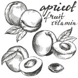 Apricot fruit set hand drawn vector illustration sketch Stock Image