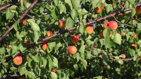 Apricot fruit at tree in orchard Stock Images