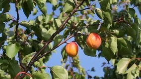 Apricot fruit at tree in orchard stock video