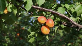 Apricot fruit at tree in orchard Royalty Free Stock Images