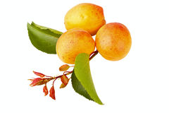 Apricot fruits Royalty Free Stock Image