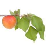 Apricot fruits with leafs. Solated on white stock photography