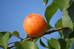 Apricot in garden. Orange apricot in summer garden Stock Photography