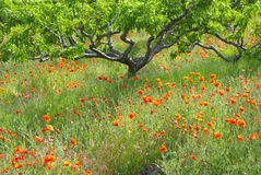 Apricot garden with poppies Royalty Free Stock Images
