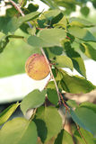 Apricot on a green branch in sunlight stock photography