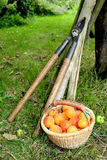 Apricot Harvest. Basket of freshly picked apricots Royalty Free Stock Photo