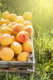 Apricot harvest in wooden box Stock Photos