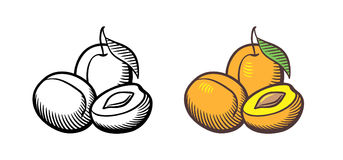 Apricot illustration. Hand drawn vector illustration of apricots. Apricot fruits with leaf, cross section and kernel. Outline and colored version Stock Photos