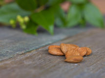 Apricot Kernels on wooden table with greenery Royalty Free Stock Image