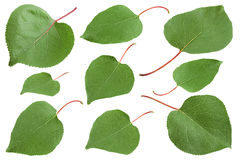 Apricot leaf collection on white Stock Photos