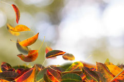 Apricot leaves falling stock image