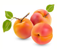 Apricot with leaves Royalty Free Stock Photo