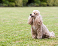 Apricot Miniature French Poodle in the Garden Stock Photography