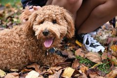 Miniature Poodle Puppy in Fall Leaves with Sneakers. Apricot Miniature Poodle Puppy laying on a bed of fallen leaves next to a black and white sneaker royalty free stock photo