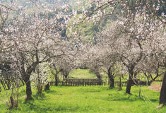 Apricot orchard. Flowering apricot trees in an orchard in the Wachau area, Austria Royalty Free Stock Image