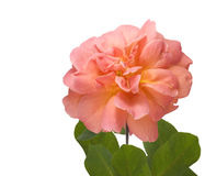Apricot pink rose flower isolated on white Royalty Free Stock Image