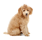 Apricot Poodle. Apricot 4 mont Poodle puppy in front of a white background stock photos