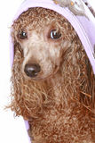 Apricot poodle after a bath. Isolated on white background stock image
