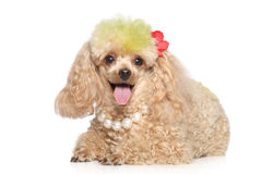 Apricot poodle with beads Royalty Free Stock Image