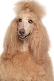 Apricot Poodle Royalty Free Stock Photos