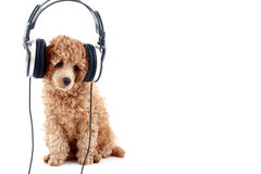 Apricot poodle listening music. Apricot poodle puppy listening to music on headphones royalty free stock photography