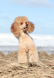 Apricot poodle stock photo