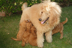 Apricot poodle with puppies. Apricot she-poodle nurses her puppies stock photo