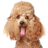 Apricot poodle puppy. Portrait. Isolated on a white background (studio shoot royalty free stock photo