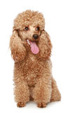Apricot poodle puppy. Portrait. Isolated on a white background stock images