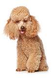 Apricot poodle puppy. Portrait on a white background royalty free stock photo