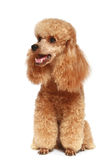 Apricot poodle puppy (1year) Royalty Free Stock Photo