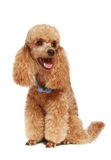 Apricot poodle puppy (1year) Stock Image