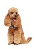Apricot poodle puppy (1year). Apricot poodle puppy. isolated on white background stock image