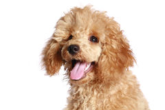Apricot poodle puppy. Isolated on white background stock photography