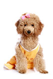 Apricot poodle puppy. With a bow on white background stock photos