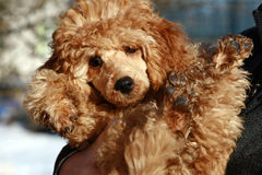 Apricot poodle puppy royalty free stock photos