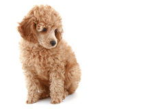 Apricot poodle puppy with photoflash. Apricot poodle puppy, isolated on white background royalty free stock photography