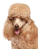 Apricot poodle puppy portrait. Apricot poodle puppy close-up portrait. Isolated on a white background (studio shoot stock photo