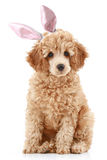 Apricot poodle puppy in rabbit ears stock images