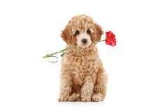 Apricot poodle puppy with red carnation Royalty Free Stock Photo