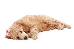 Apricot poodle puppy (series). Apricot poodle puppy, isolated on white background stock images
