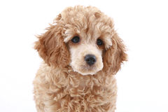 Apricot poodle puppy (series) Stock Photos