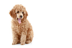 Apricot poodle puppy series stock images
