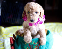 Apricot Poodle Puppy shot stock photo
