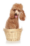 Apricot poodle sits in a basket Royalty Free Stock Photos
