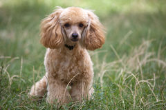 Apricot poodle. Apricot poodle sitting on green grass stock photos