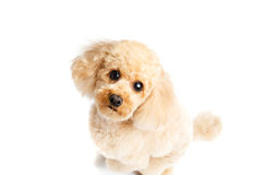 Apricot poodle sitting on a white background. And looking up stock image